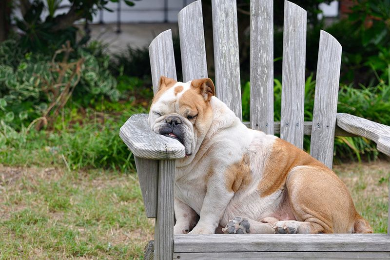 sleepy dog in chair